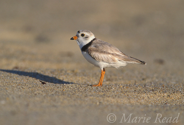 Piping Plover (Charadrius melodus), male, breeding plumage,<br /> Martha's Vineyard, Massachusetts, USA. Endangered species in USA. <br /> Slide B52-328
