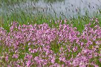 Kuckucks-Lichtnelke, Lichtnelke, Kuckuckslichtnelke, Kuckucksnelke, Feuchtwiese, Feuchtgebiet, Wiese, Silene flos-cuculi, Lychnis flos-cuculi, Ragged Robin, marsh area, meadow, wetlands, wetland