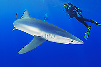 blue shark and scuba diver, Prionace glauca, Azores, Portugal, Atlantic Ocean, model released