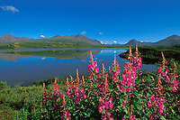 Fireweed in bloom during the brief summer window in central Alaska.