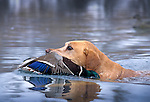 34-422. A yellow Labrador retriver brings a mallard to the blind on the Snake River, Idaho.