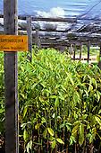 Trombetas, Para State, Brazil. Rainforest reforestation programme nursery; Hevea Brasilensis rubber tree (seringueira); Trombetas bauxite mine.