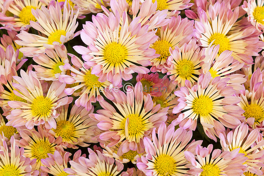 chrysanthème   (Dendranthema = Chrysanthemum ). Obtenteur Tourly (France, Cher) // mums, chrysanths, Chrysanthemum