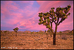 Joshua Trees, Sunrise<br /> Joshua Tree National Park, California