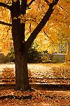 An autumn maple tree (Acer sp.) covers a sidewalk with fallen leaves, Medford, Oregon