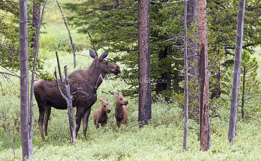 A moose with twin calves stands alertly while listening and watching for predators.