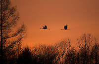 Japanese Cranes (Grus japonensis) in flight at dusk; Hokkiado, Japan, February 2015