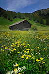 Cow shelters, spring flowers on farm land  in the picturesque district of Imst, Tyrol,Tirol, Austria.