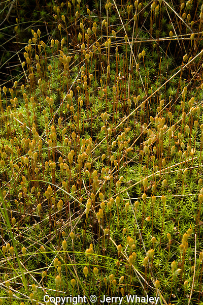 Mosses at Round Bald, Appalachian Trail, TN-NC