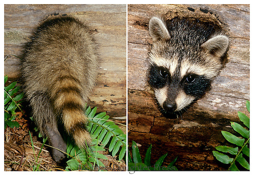 Baby raccoon, pyron locotor, plays in hollow log and finds it tight