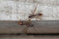 Gartenameise, Knotenameise, geflügeltes Männchen, Garten-Ameise, Knoten-Ameise, Ameise, Myrmica spec., myrmicine ant, European fire ant, common red ant