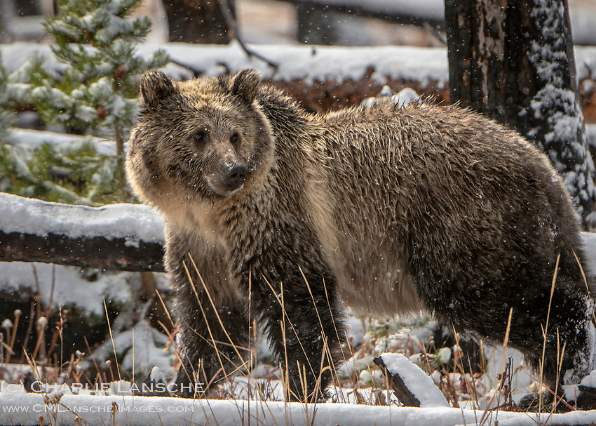 Perhaps my last glimpse of a grizzly this season as these magnificent animals are now starting to retreat to hibernation dens as winter slowly closes in on the greater Yellowstone ecosystem.