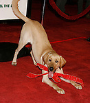 "WESTWOOD, CA. - December 11: Marley the Dog arrives at the Los Angeles premiere of ""Marley & Me"" at  Mann's Village Theater on December 11, 2008 in Los Angeles, California."