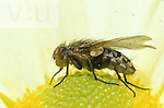 Tachinid Fly ,Tachinidae,