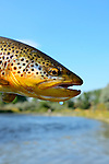 Bighorn River  Fort Smith Montana, handheld brown trout