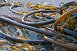 Brown Algae or Kelp washed onto a beach (Phaeophyceae), Mendocino County, California, USA