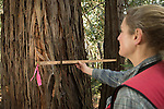 Coast Redwood (Sequoia sempervirens) tree being measured by forester, Nadia Hamey, Santa Cruz Mountains, California
