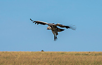 Ruppell's Griffon Vulture, Gyps rueppellii, landing at a cheetah kill in Serengeti National Park, Tanzania