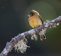 A cute little bird found in the central highlands.