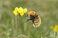 Great Yellow Bumblebee - Bombus distinguendus