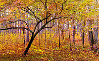 Dogwood tree in fall forest at Weymouth Woods Nature Preserve