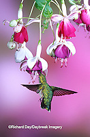 01162-069.14 Ruby-throated Hummingbird (Archilochus colubris) female at Hybrid Fuchsia (Fuchsia)  Shelby Co.  IL