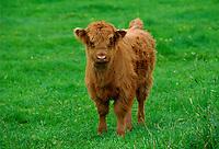 Highland cattle calf, Scotland, UK.