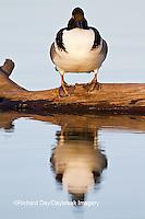 00766-00703 Hooded Merganser (Lophodytes cucullatus) male on log in wetland Marion Co., IL
