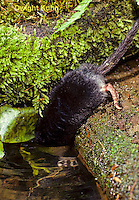 MB11-030z  Star-nosed Mole - diving into pool - Condylura cristata