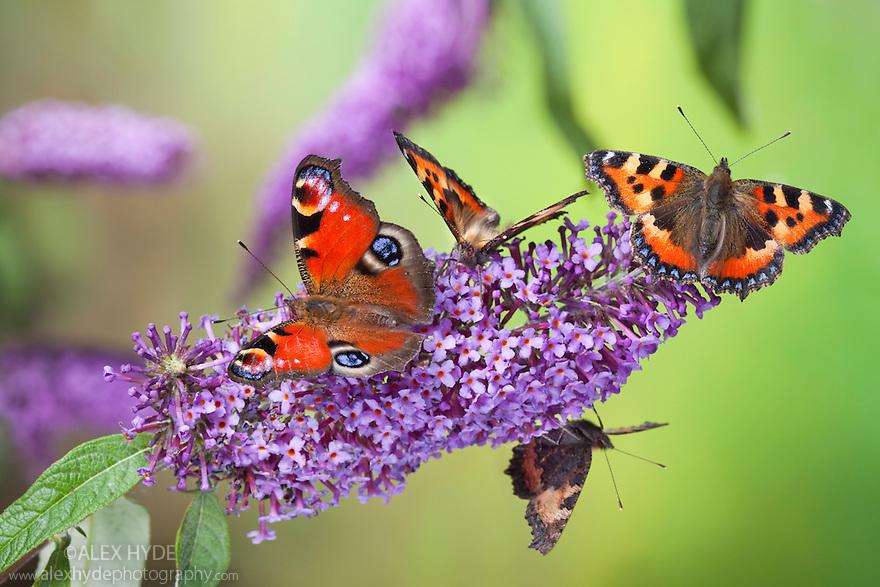 Peacock butterfly {Inachis io} and Small Tortoiseshell butterflies {Aglais urticae} feeding on buddleia flowers {Buddleia davidii}, Peak District Natioal Park, Derbyshire, UK. September