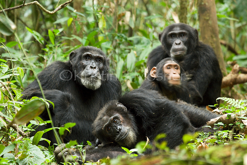 Group of male chimps with orphaned juvenile DJ, resting and grooming.Chimpanzee (Pan troglodytes schweinfurthii).Ngogo, Kibale National PArk, Uganda.(Bartok, Hare, Morton and DJ)