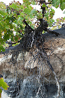 Spain, Canary Island, Lanzarote, San Bartolome: Vine roots sunk into volcanic soil | Spanien, Kanarische Inseln, Lanzarote, San Bartolome: Wurzeln eines Weinstocks in vulkanischer Erde