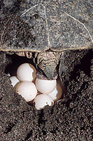 olive ridley sea turtle, Lepidochelys olivacea, drops egg from ovipositor into nest, Playa Ostional, Costa Rica, Pacific Ocean