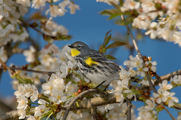 Yellow-rumped warbler or Audubon's Warbler (Dendroica coronata) in flowering cherry tree.  Pacific Northwest.  Spring..