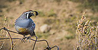 Fine Art Print Photograph of a California Quail in Penticton, British Columbia.