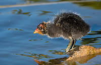 An American Coot chick, Fulica americana, stands on the shore of a lake in Papago Park, part of the Phoenix Mountains Preserve near Phoenix, Arizona