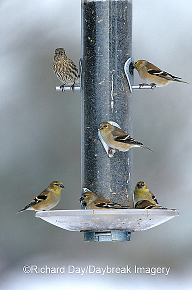 00585-02616  American Goldfinches (Carduelis tristis) & House Finch (Carpodacus mexicanus) on sunflower tube feeder IL
