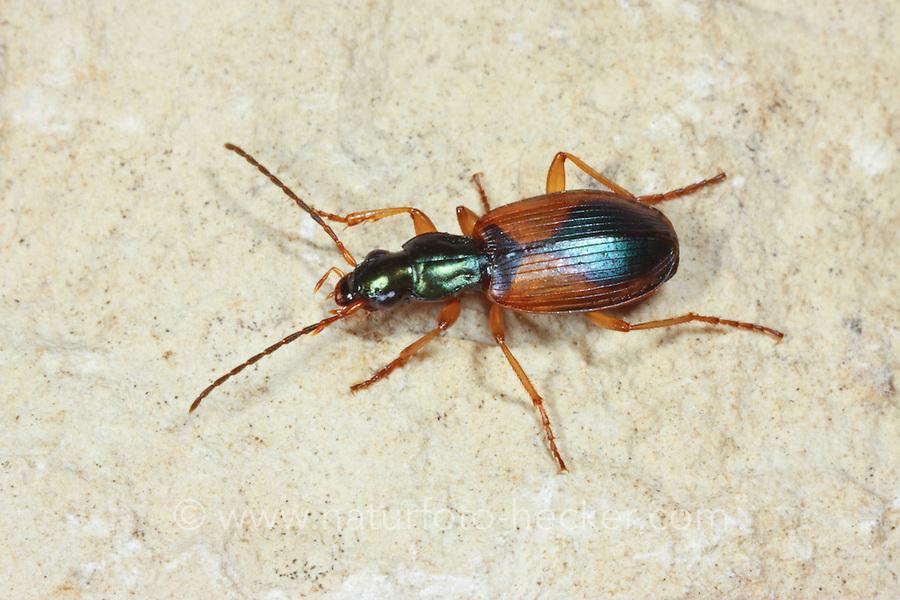 Buntfarbener Putzläufer, Bunter Enghalsläufer, Grüner Putzläufer, Anchomenus dorsalis, Platynus dorsalis, ground beetle