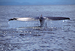 Water drips from the fluke of a blue whale in the Sea of Cortez in Baja, California.