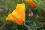 California poppies with water drops