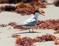 Least tern in breeding plumage