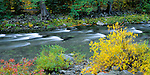 Wenatchee National Forest, WA    <br /> <br /> Willows in fall color with cedar/fir forest along the swift waters of Icicle Creek