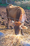 Brown alpine dairy cow with horns eating hay on farm making ricotta cheese, Sicily, Italy