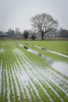Waterlogged wheat in January
