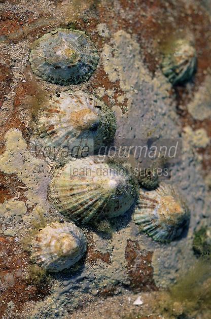 Europe/France/Bretagne/22/Côtes d'Armor/Cap Fréhel: Détail coquillages et algues séchées dans les rochers - Patelle, Bernique, ou familièrement chapeau chinois