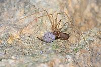 Kleine Zitterspinne, Weibchen mit Eiern, Eier, Eipaket, Pholcus opilionoides, Pholcus osellai, Pholcidae, Zitterspinnen
