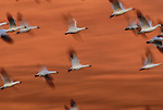 Snow geese in flight, New Mexico