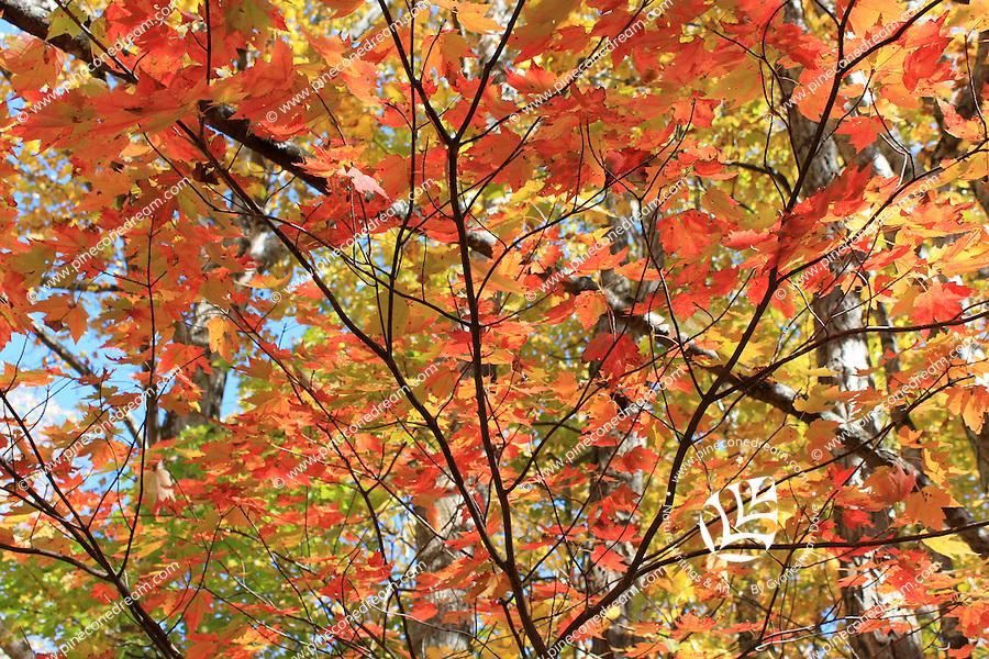 Stock photo - canopy of a maple tree in fall on Blue Ridge Parkway, North Carolina, USA.