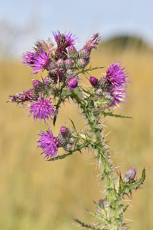 Marsh Thistle - Cirsium palustre