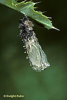 LE37-015b  Butterfly - Painted Lady Butterfly caterpillar forming chrysalis - Vanessa cardui (series - LE37-004a,005b,006b, 007a,015b)